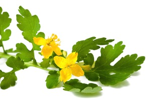 greater-celandine-small