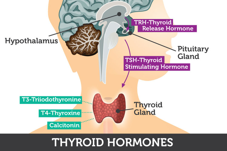 thyroid-hormones