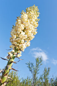 chaparral-flower