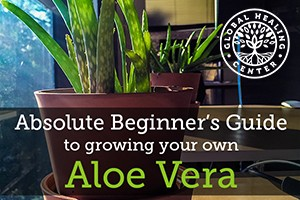 grow-your-own-aloe-vera-feature-image-300x200
