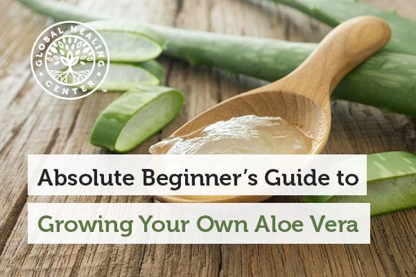 growing-aloe-vera