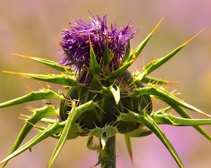 milk-thistle-small
