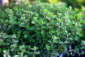 oregano-small