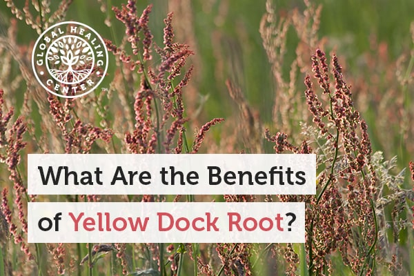 yellow-dock-root