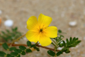 yellow-tribulus-terrestris