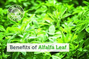 alfalfa-leaf-blog-300x200