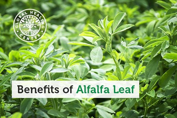 alfalfa-leaf-blog