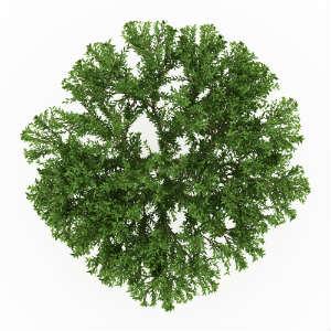brazilian-pepper-tree