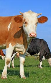 cow-livestock