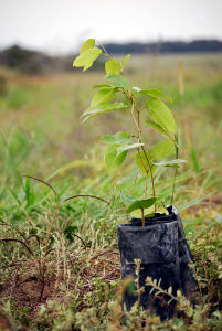 jatoba-tree
