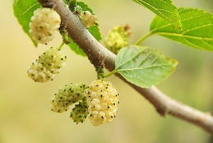 morus-alba-mulberries