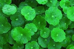 gotu-kola-leaf-small