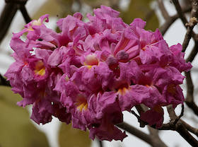 pau-darco-flower