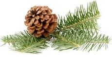 pine_oil