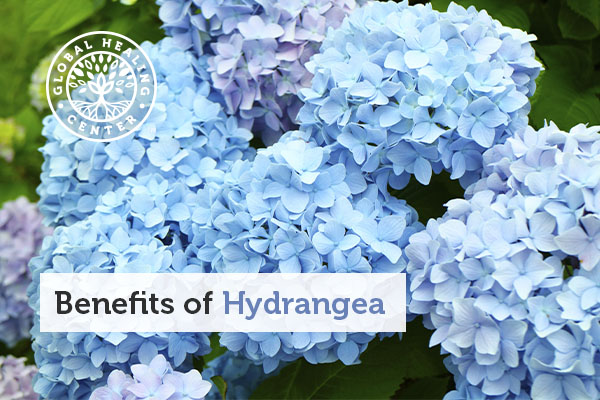 benefits-of-hydrangea
