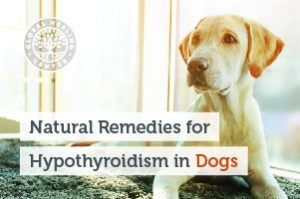 hypothyroidism-in-dog-blog-300x199