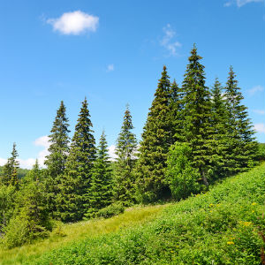 pine-bark-extract