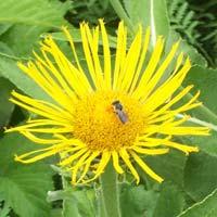 elecampane-flower