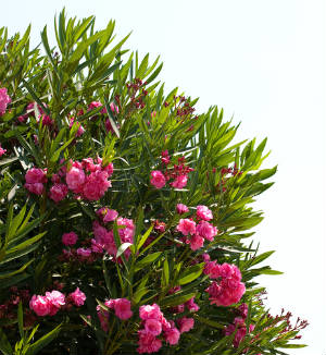 oleander_bush