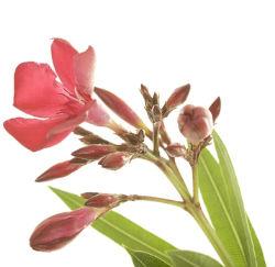 oleander_flower