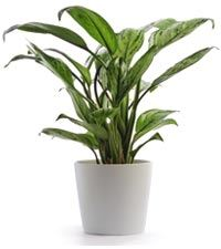 great-plant-option-for-cleansing-indoor-environment