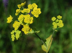 bupleurum-chinese-small