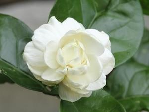 jasmine-sambac-small