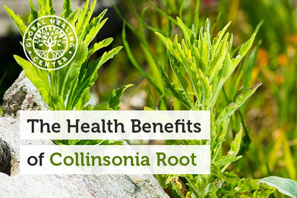 collinsonia-root