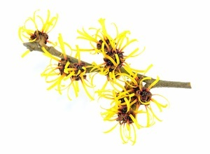 witch-hazel-small