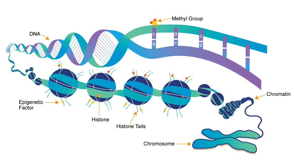 dna-chromatin-histone