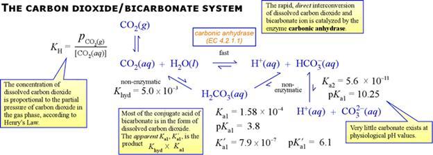 carbon_dioxide_bicarbonate_system