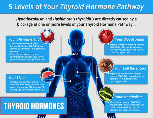 thyroid_hormone_pathway