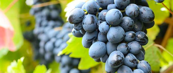 grapes-epigenetics-depression-678x289