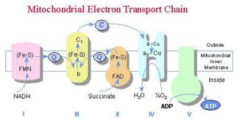 mitochondrial-electron-transport-chain