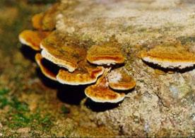 phellinus-linteus
