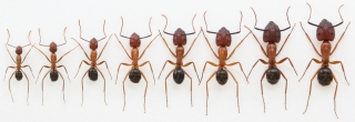 ants-dna-methylation-size