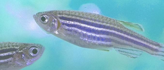 zebrafish-678x289