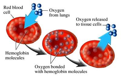 Hemoglobin-1-1