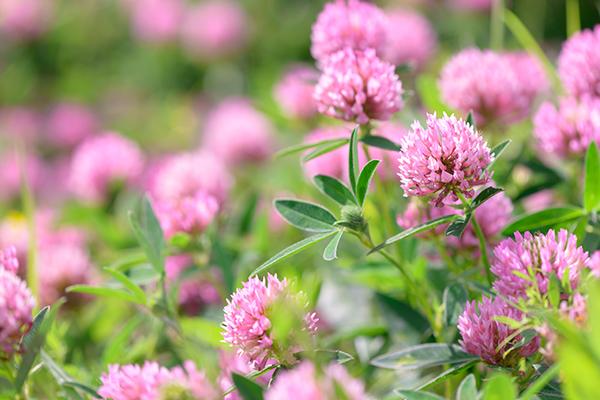 Clover-Flowers-in-the-field