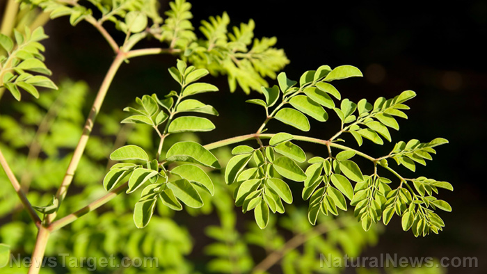 Moringa-Tree-Leaves