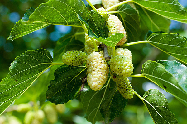White-mulberry-2