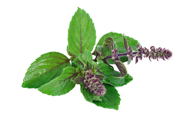 Leaves-and-flower-of-Ocimum-sanctum-holy-basil-or-tulasi-or-tulsi-on-white-background-ocimum-sanctum-in-Thai-name-is-Kaphrao