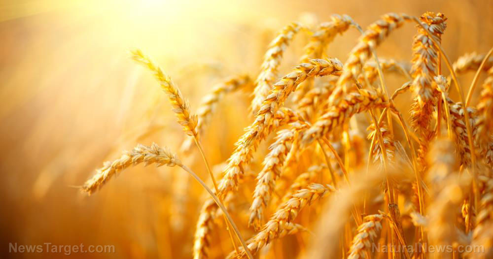 Wheat-Field-Agriculture-Background-Grain-Crop-Landscape