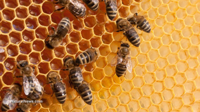 Bees-Hive-Honey-Comb