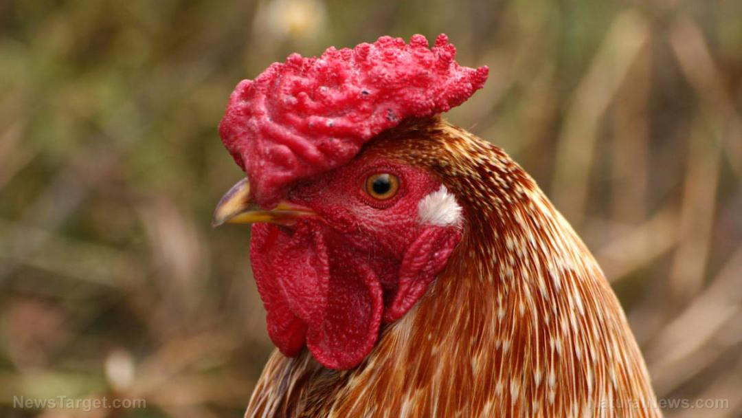 Chicken-Head-Face-Close-up