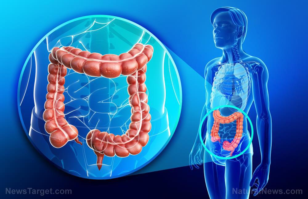 Colon-Large-Human-Anatomy-Healthy-Rectum-Sigmoid