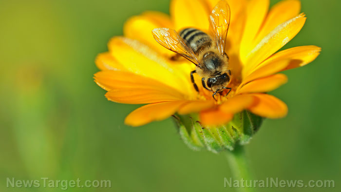 Honey-Bee-On-Flower-Pollin
