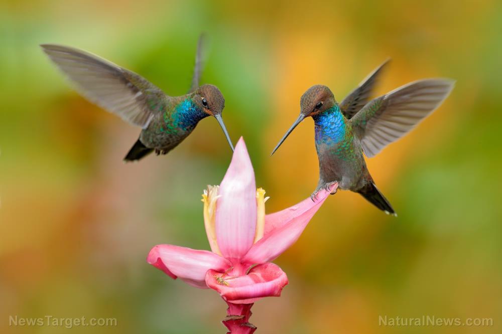 Hummingbird-Food-Sabrewing-Colombia-Ecuador-Exotic-Flower