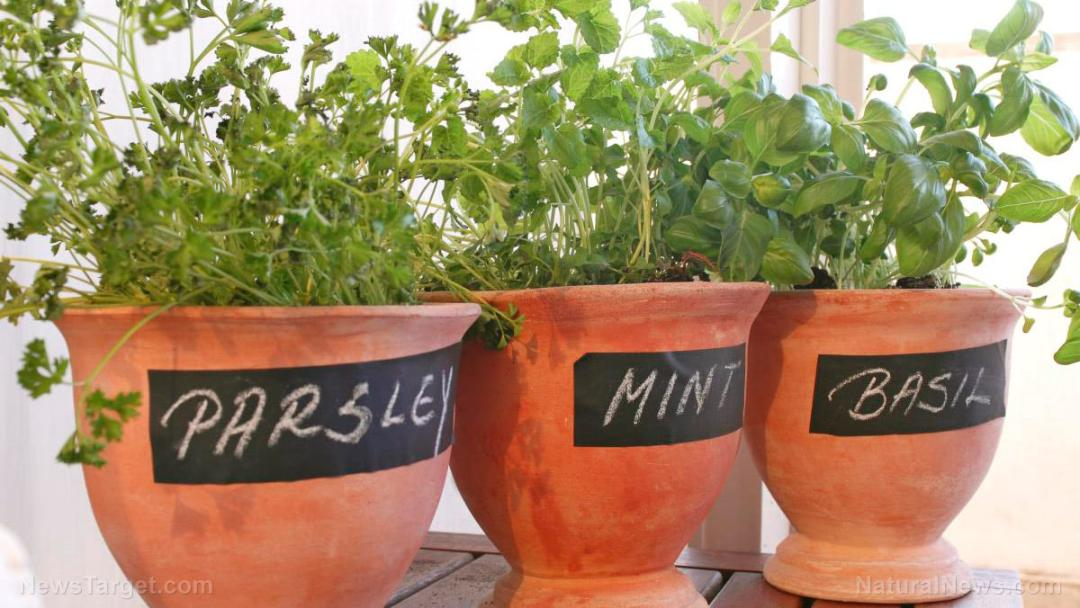 Pots-Grow-Herbs-Parsley-Mint-Basil