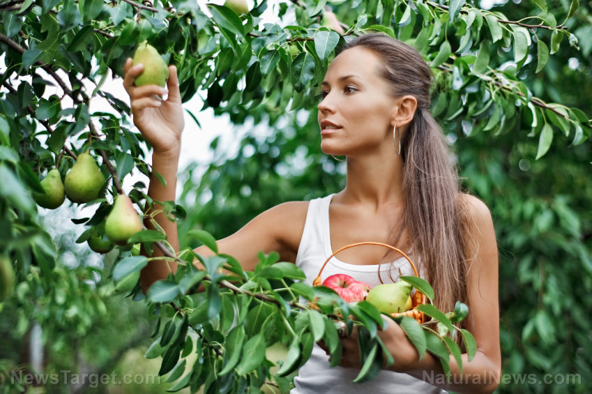 Woman-Picking-Fruit-Tree-Pears-Nature-1